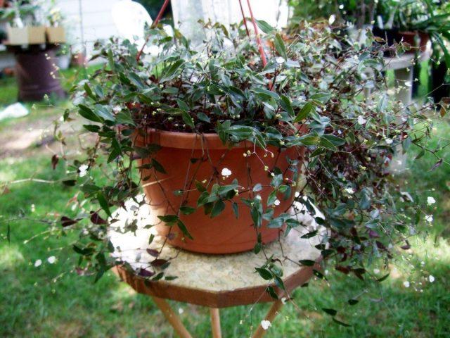 Традесканция гибазис будет хорошо расти и развиваться в готовых смесях для комнатных растений, цветов или овощей