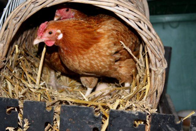 Чтобы курам было куда нести яйца, нужно сделать ящики из фанеры или взять небольшие корзинки, разместить их на высоте 1 м