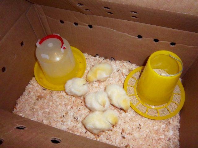 Маленьким цыплятам нужно тепло, свет и полноценная еда