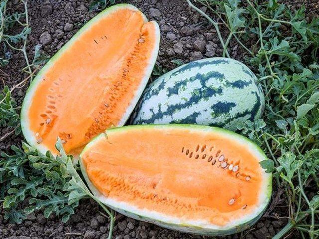 Арбуз 'Orangeglo' («Оранжглоу»)