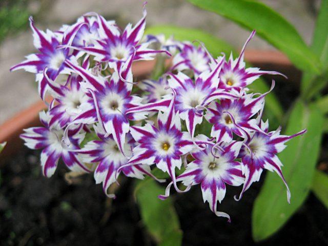 Цветы однолетние. Флокс Друммонда (Phlox drummondii)