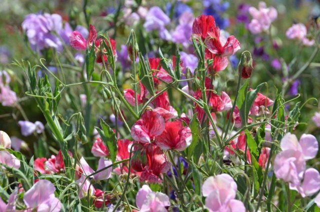 Цветы однолетние. Душистый горошек (Lathyrus odoratus)