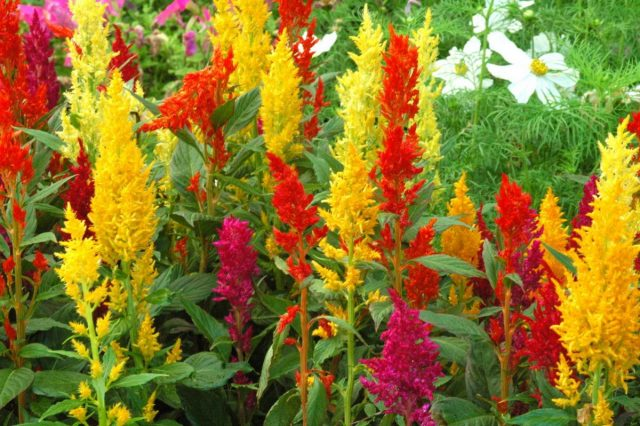 Цветы однолетние. ЦелозияЦелозия (Celosia)