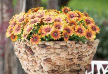 8 лучших вегетативных однолетних цветов