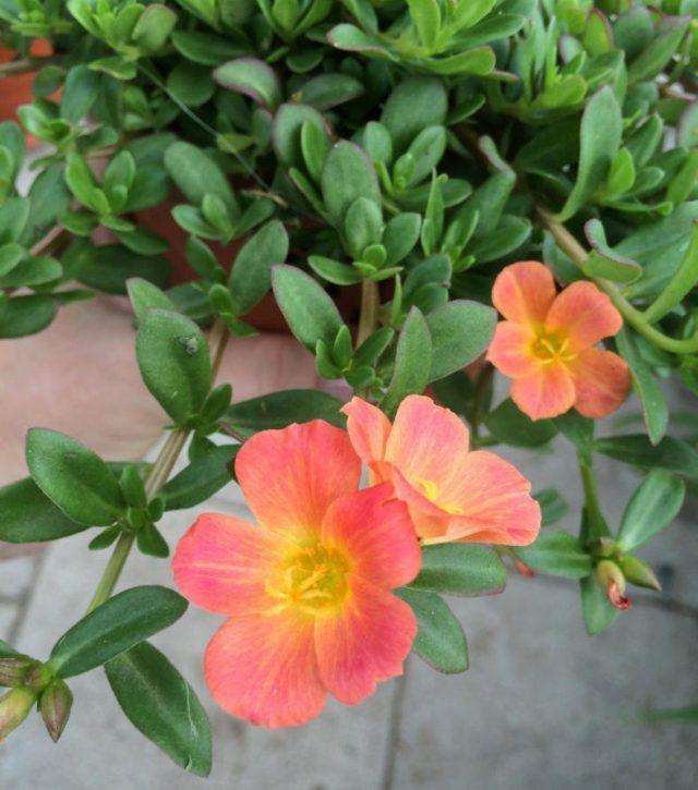 Портулак (Portulaca oleracea)