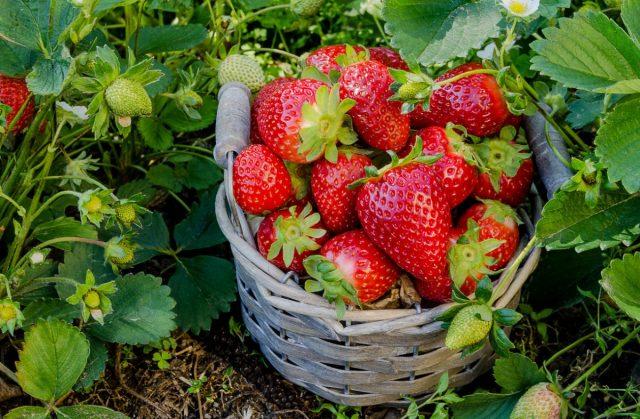 7 секретов большого урожая земляники садовой