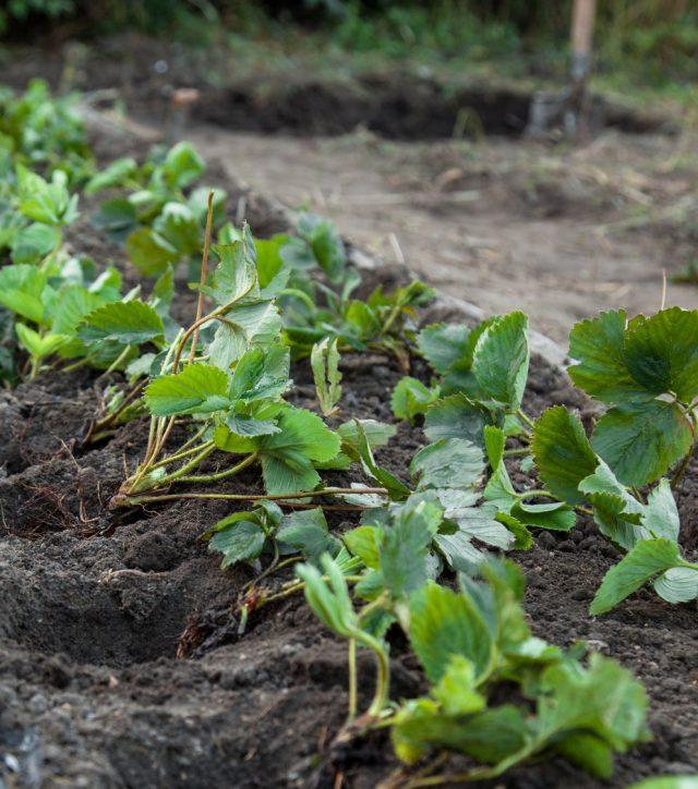 Однорядная или двурядная посадка клубники обеспечивает лучшие условия для питания и отдачи урожая