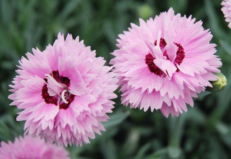 Dianthus-alpinus-Pop-Star-1