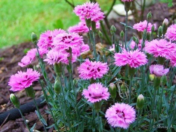 Dianthus-alpinus-Pop-Star-3