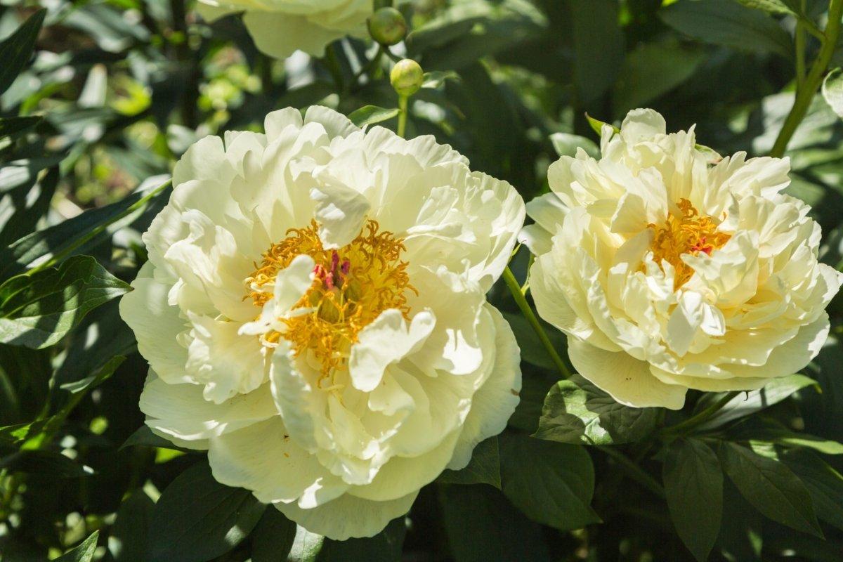 Paeonia-Lemon-Chiffon-1
