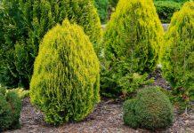 Защитить хвойные от вредителей поможет «Пиноцид»