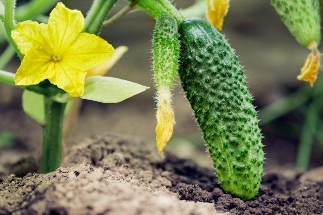 Прежде чем попасть к нам на стол, огурчики проходят нелёгкий путь от подготовки семян к посеву до отдачи урожая
