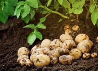 Простые правила выращивания картофеля
