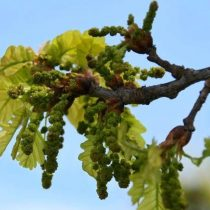 Цветение дуба