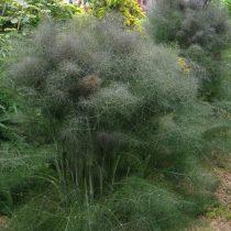 Фенхель обыкновенный (Foeniculum vulgare), сорт 'Purpureum'