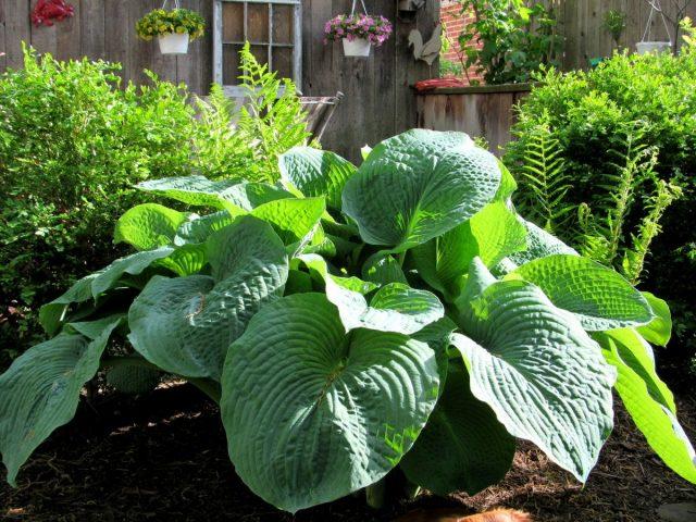 Гигантские хосты размещают на дистанции от 55 см до 1 м к соседним растениям