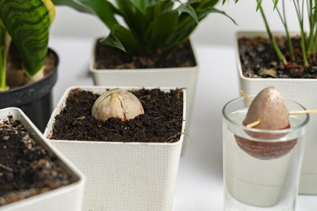 Косточку авокадо (Persea) можно прорастить в субстрате или в воде