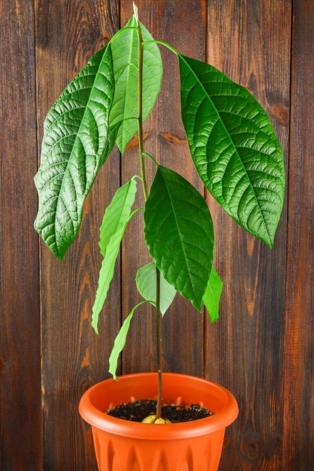 Авокадо не любит сквозняков, но обожает лето проводить на свежем воздухе