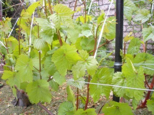 Листья у сорта винограда «Коринка русская» крупного размера, слегка опушены, с выраженным жилкованием и слабой степенью рассеченности