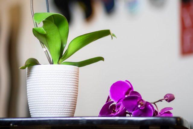 Почему орхидея сбрасывает цветки и бутоны?