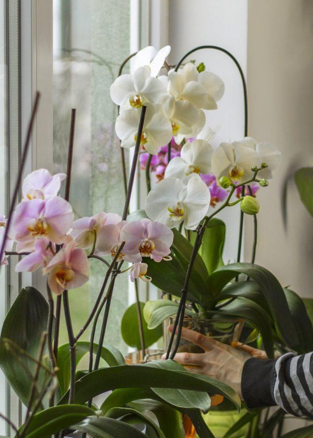 Если есть малейшее подозрение заражения, орхидею нужно сразу изолировать и предпринять меры