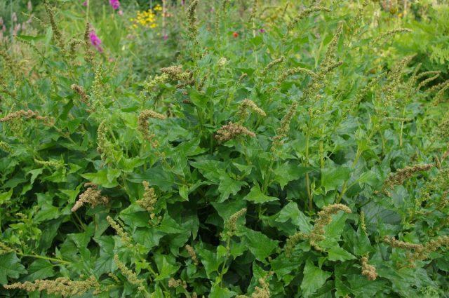 Марь, или Блитум Доброго Генриха (Chenopodium bonus-henricus)