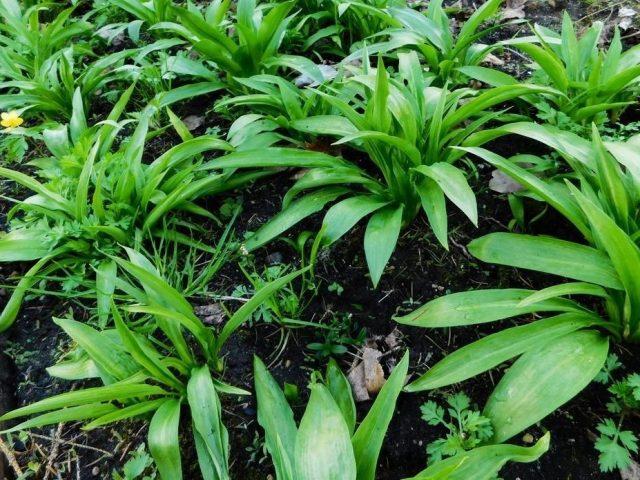 Черемша, или Дикий лук (Allium tricoccum)