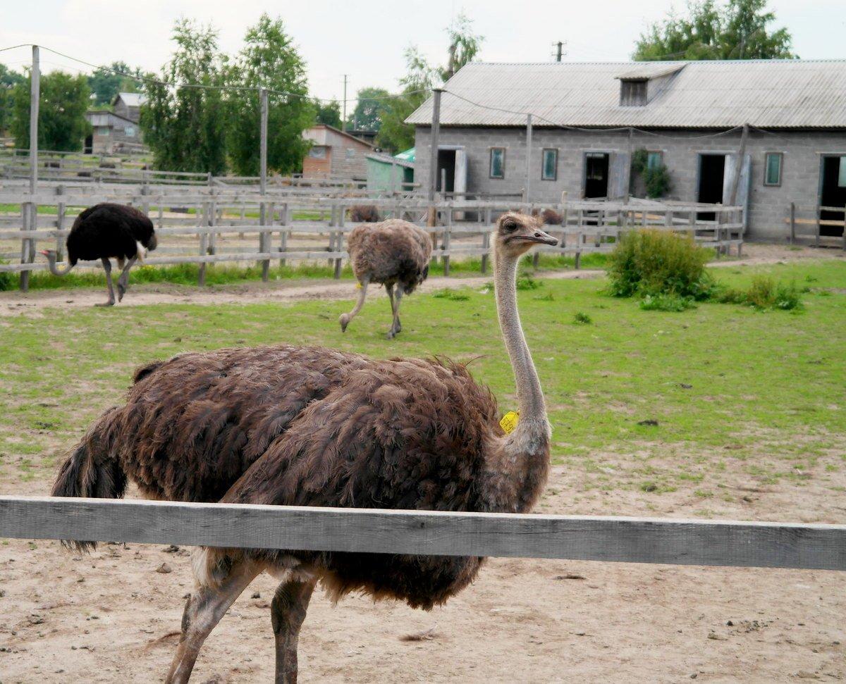 У страусов должно быть достаточно простора для выгула и содержания