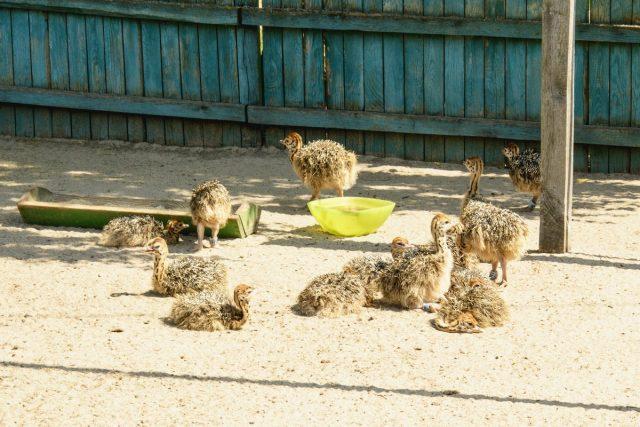 У маленьких страусят всегда должна быть еда и чистая вода