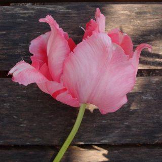 Здоровый тюльпан 'Fantasy'