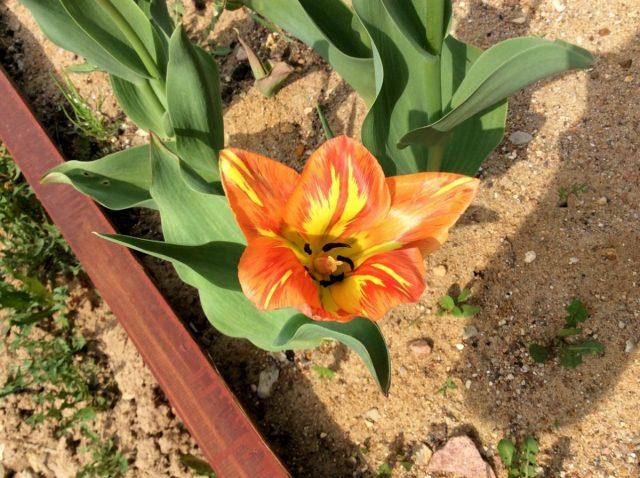тюльпан 'Orange Breeze' — слабый, примерно вдвое ниже нормы