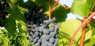 Виноград амурский — самый морозостойкий