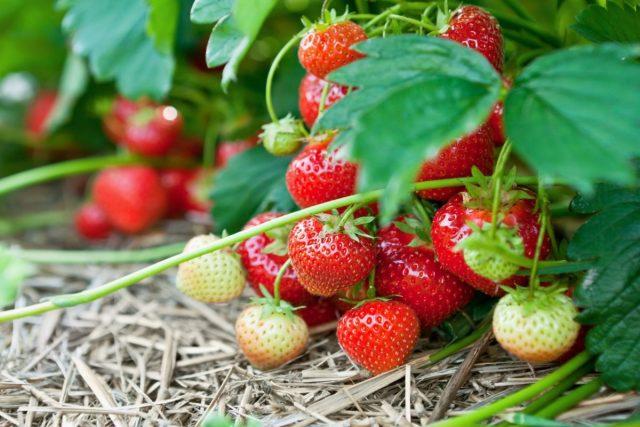 Земляника садовая — не только очень вкусна, это просто кладезь витаминов и полезных веществ