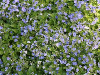 Вероника цветоножковая (Veronica peduncularis)