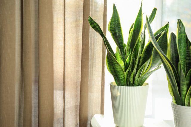 8 комнатных растений, которые не боятся сквозняков