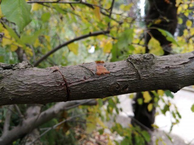 Цитоспороз, или инфекционное усыхание коры яблони