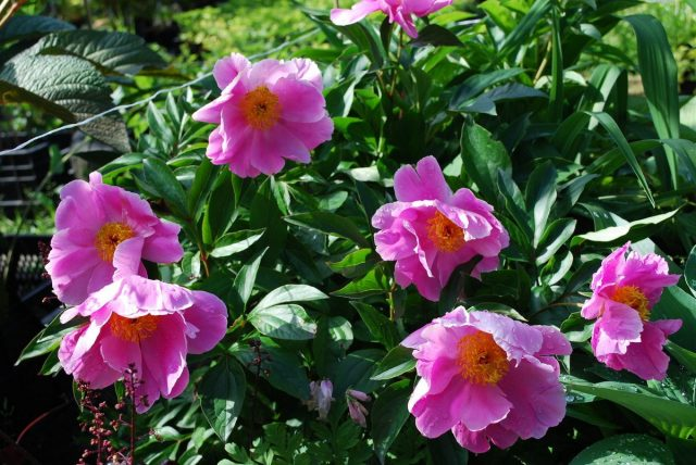 Пион молочноцветковый, или Пион китайский (Paeonia lactiflora)