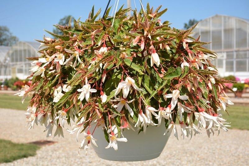 Begonia-boliviensis-Bossa-Nova-Pure-White-1