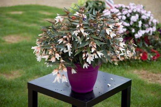 Begonia-boliviensis-Bossa-Nova-Pure-White-2