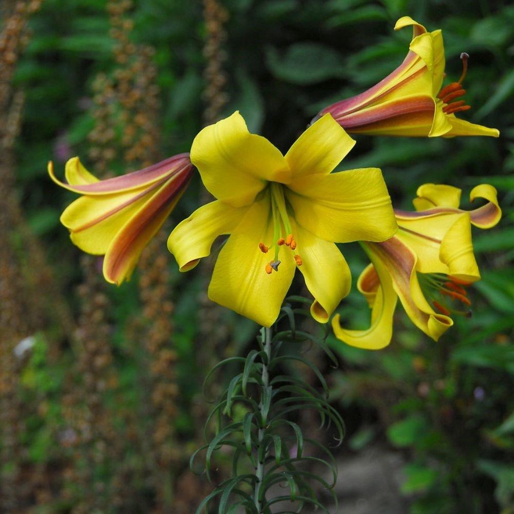 Lilium-Golden-Splendor-2