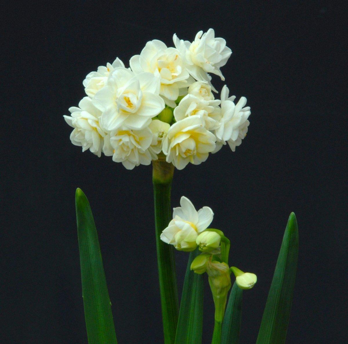Narcissus-Erlicheer-2