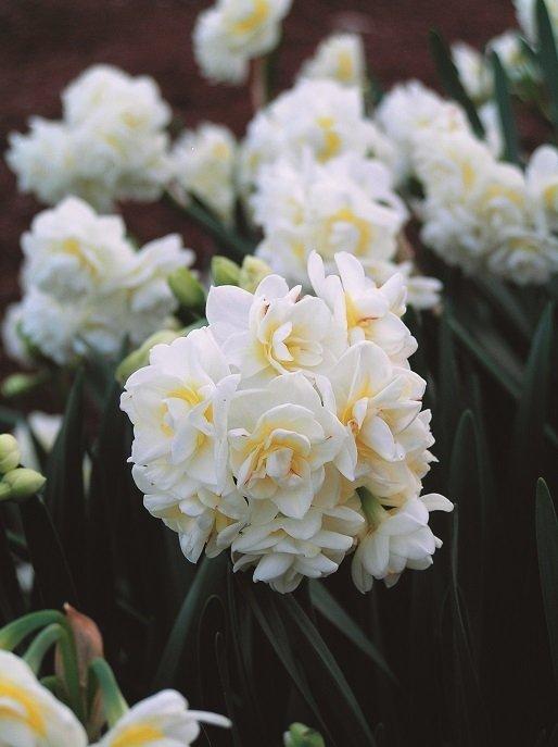 Narcissus-Erlicheer-3