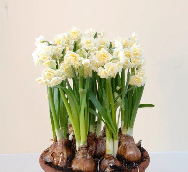 Narcissus-Erlicheer-4