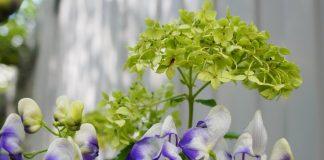 Аконит и гортензия — идеальная пара для тенистого цветника