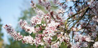 Ароматы весеннего сада, или Какие растения и чем пахнут весной?