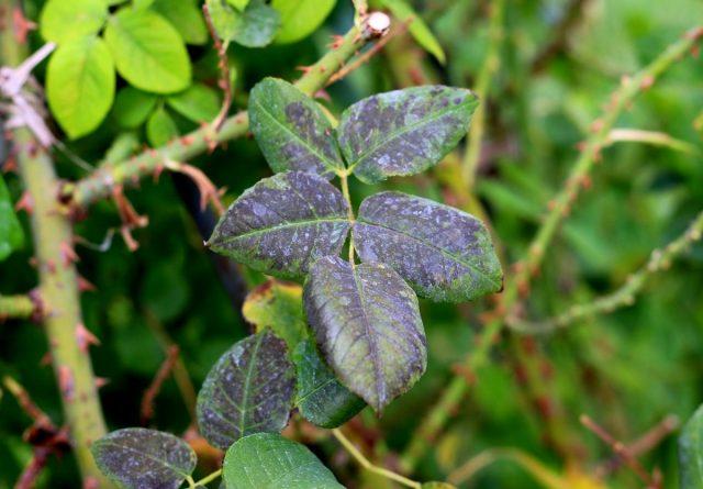 Пероноспороз, или ложная мучнистая роса