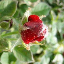 Поражение розы паутинным клещом