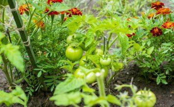 Что посадить с томатом?