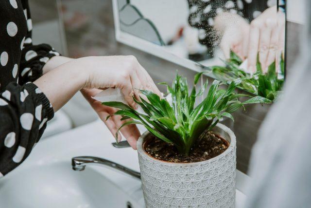 Драцены любят теплый душ, обмывание и протирание листьев