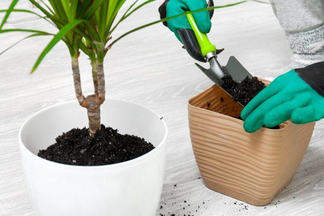 Драцена хорошо переносит пересадку, не боится контакта с корнями